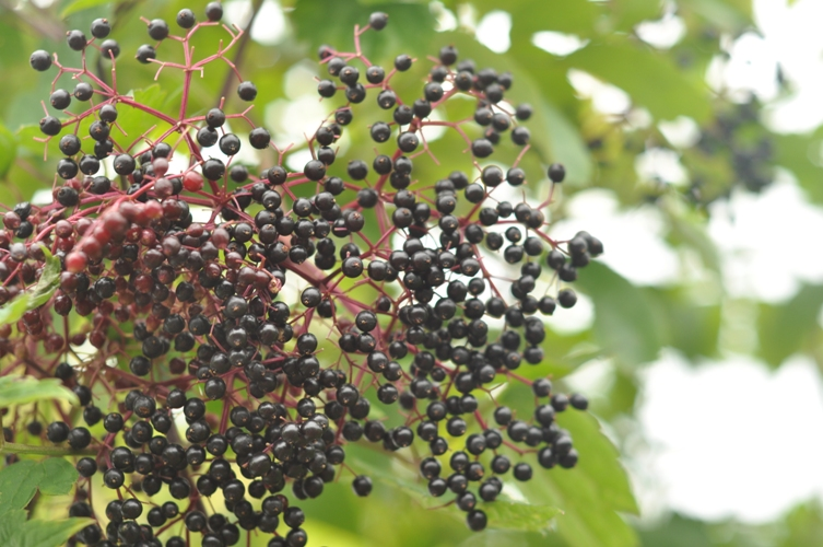 Elderberry Crab Apple Jelly with Lemon | Putting Up With The Turnbulls